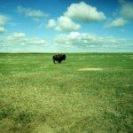 Buffalo at Yellowstone National Park
