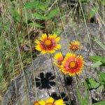 Idaho Wild Flowers