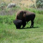 Montana Buffalo